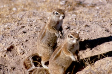 Cape Ground Squirrels. Photo Credit: Jane Waterman.